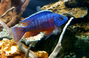 """Red flash male peacocks 2.75""""-3.5"""""""