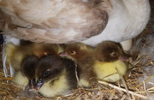 Super cute muscovy ducklings!