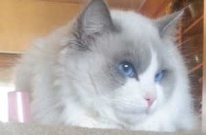 Tica registered ragdoll kittens (2 available)