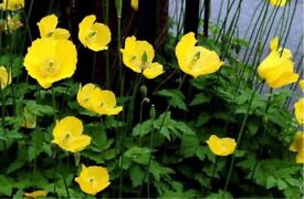 3 x WELSH POPPY PERENNIAL PLANTS FOR £5.00 (INCLUDING DELIVERY)