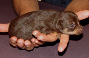 Gorgeous  chocolate and fawn Chihuahua pups London Ontario image 5