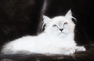 Female Ragdoll Kittens Are Ready For Adoption