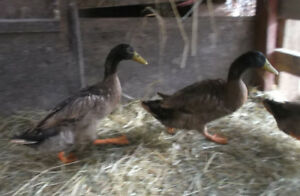 Khaki Campbell Male Ducks