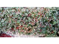 40 plus small Cotoneaster Horizontalis Hedging Plants - about 6 inches tall