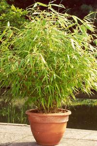 1x Bambus Pflanze Fargesia rufa 35-40cm - kräftige Pflanzen