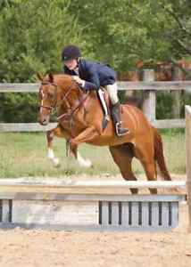 Lovely Welsh X Mare for sale London Ontario image 1