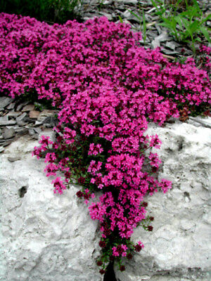 - Red Creeping Thyme Seeds, Groundcover Seeds, Heirloom Non-GMO Seeds, 100ct