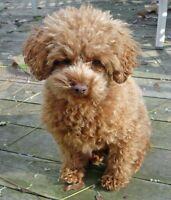 WANTED: brown toy poodle puppy