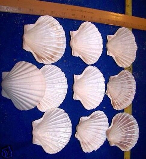 """25 4""""+ LARGE BAKING SCALLOP CLAMS Scallops SEAFOOD COOKING SHELLS #1079-25b"""