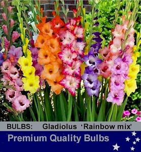 FLOWER BULBS - GLADIOLI - RAINBOW  Mix10 Bulbs