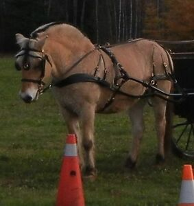 Registered Norwegian Fjord Mare