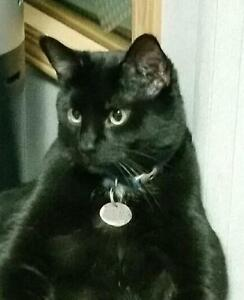 "Adult Male Cat - Domestic Short Hair: ""Jingles and Jangles"" Yellowknife Northwest Territories image 2"