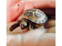 Baby Tortoises with fully set up homes