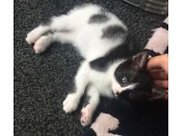 Trained 13 week old kitten