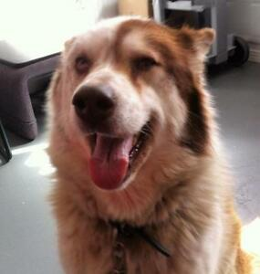 "Senior Female Dog - Husky: ""Heidi"""