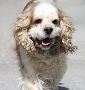 """Adult Male Dog - Cocker Spaniel: """"Nelson~Foster Needed!"""""""