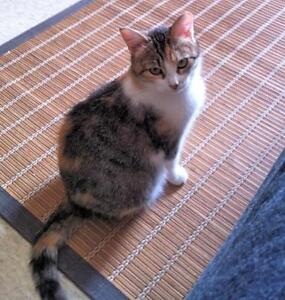 "Young Female Cat - Calico-Tabby - white: ""LILY ROSE"""