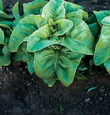 Lettuce Garden (2,000 Lettuce Seeds Deer Tongue Bibb Lettuce Garden Seeds Heirloom Variety )