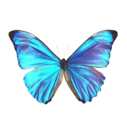 ONE REAL BUTTERFLY BLUE MORPHO AURORA PERU UNMOUNTED WINGS CLOSED
