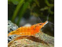 7x Orange Sunkist Shrimp for sale 2cm - live tropical fish