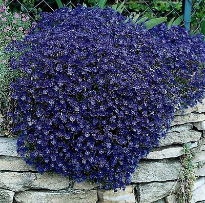 50+ PERENNIAL FLOWERING GROUNDCOVER SEEDS -  ...