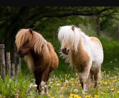 WTB Companion Pony