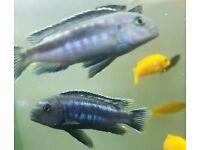 Pair of Melanochromis Johanni aka Electric Blue Johanni Cichlid Mbuna Malawi