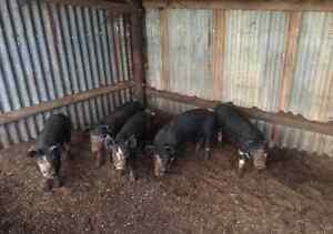 Pure bred Berkshire piglets Mallala Mallala Area Preview