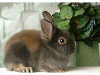 Fluffy baby bunny English lop rabbits