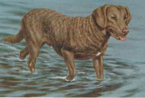 Chesapeake Bay Retriever - Vintage Color Dog Print - MATTED