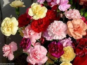 5 Mixed  Hardy Border Carnations Mini Plug Plants - Dianthus -  FREE P & P