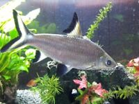 Large Silver Shark for sale live tropical fish