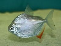 Silver Dollars for sale tropical fish