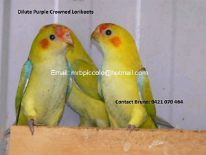 Dilute Purple Crowned Lorikeets Williamstown Hobsons Bay Area Preview