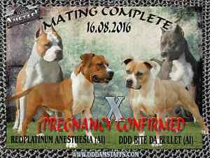 American Staffordshire Terrier (Amstaff) Male pup IMPORTED lines Lewiston Mallala Area Preview