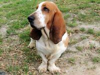 Litter of bassett hound puppies