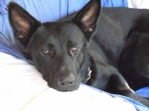 Solid Black German Shepherd Pups Crohamhurst Caloundra Area Preview