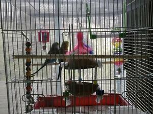 VERY CUTE BUDGIES WITH EVERYTHING COMPLETE