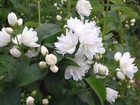 Syringa Philadelphus plant bush.