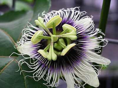 50 Passiflora edulis var. edulis, purple passion fruit seeds from Hawaii