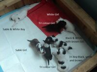 Chinese Crested Powder Puff Puppies for sale