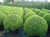 Buxus balls , hedging - cones - largest selection around -direct prices