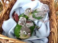 Conure Babies For Sale