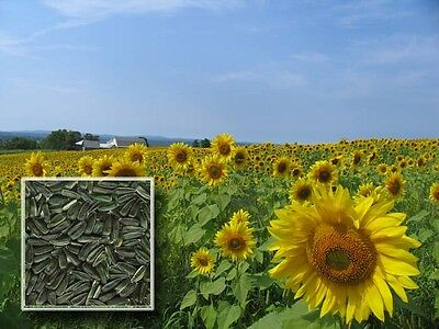 100 SUNFLOWER BLACK OIL SEEDS, NON GMO + FREE GIFT!