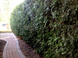 Cedar Hedge Trees For Privacy - Farm Fresh Oakville / Halton Region Toronto (GTA) image 4