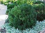 Buxus, randpalm - Buxus sempervirens