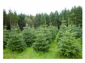 Real Christmas tree - XMAS Trees for sale