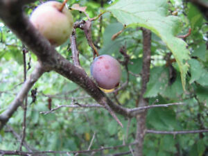 Look for local plums or wild native plums
