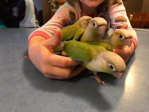 Pineapple and Cinnamon green cheek conures Katoomba Blue Mountains Preview