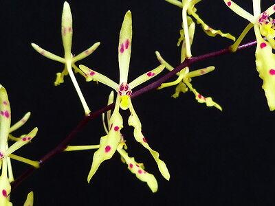 BIN- Renanthera citrina - Collectors item! Vietnam Orchid! Nice! Easy to grow